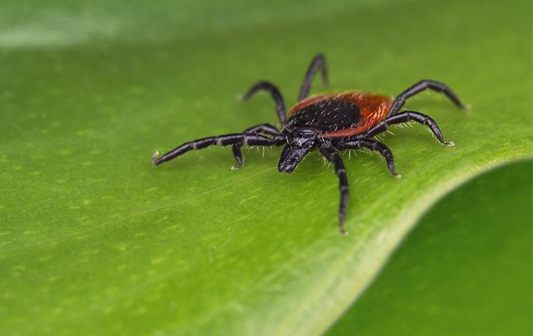 a deer tick crawling on a leaf in frisco texas