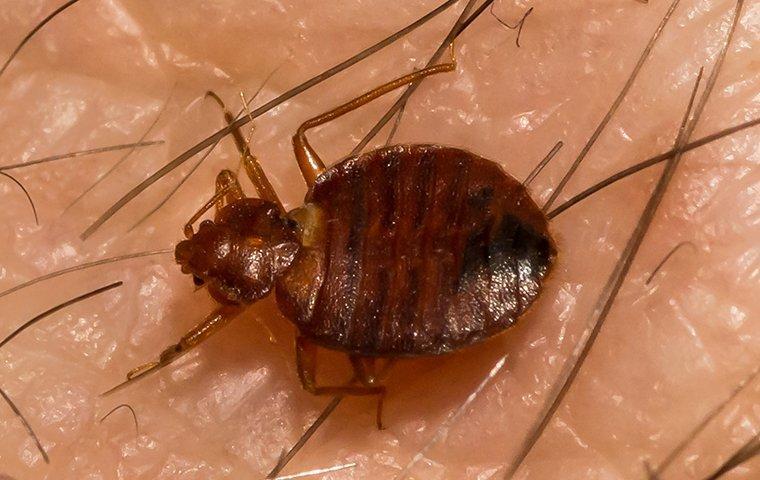 a bed bug biting on human skin.