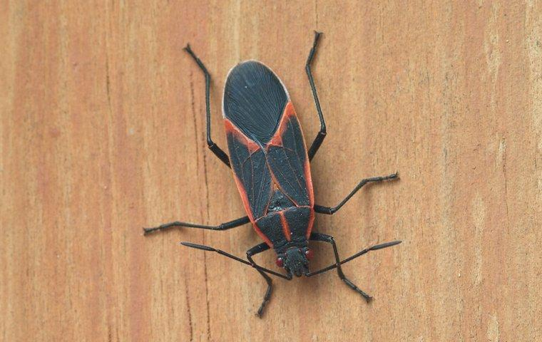 a top view of a boxelder bug