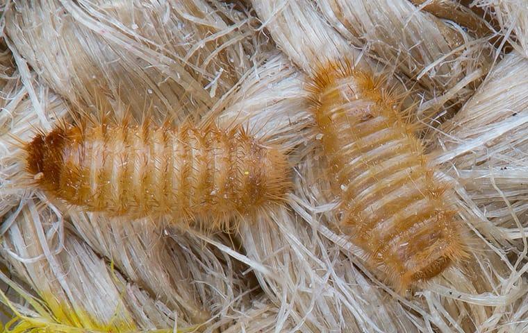 carpet beetle larvae on a rug