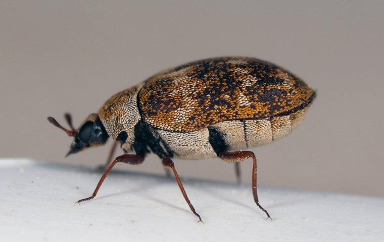a carpet beetle on a surface in a home