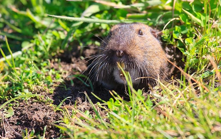 gopher in a burrow in a residential yard