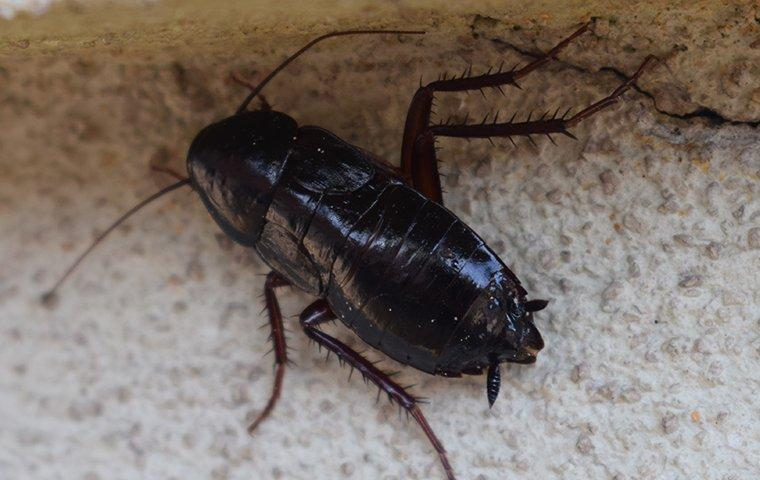 an oriential cockroach crawling in a kitchen