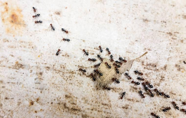 a cluster of pavement ants on a driveway