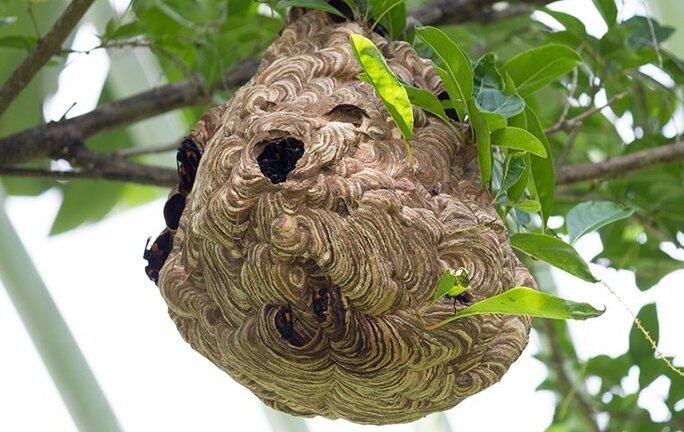 paper wasp nest in a tree