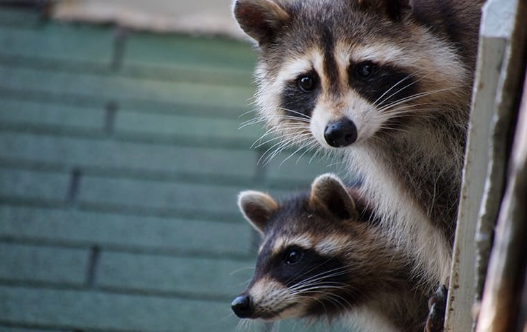 two raccoons on a roof