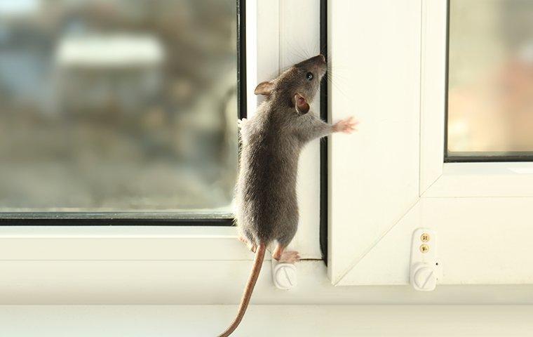 a rodent inside a home