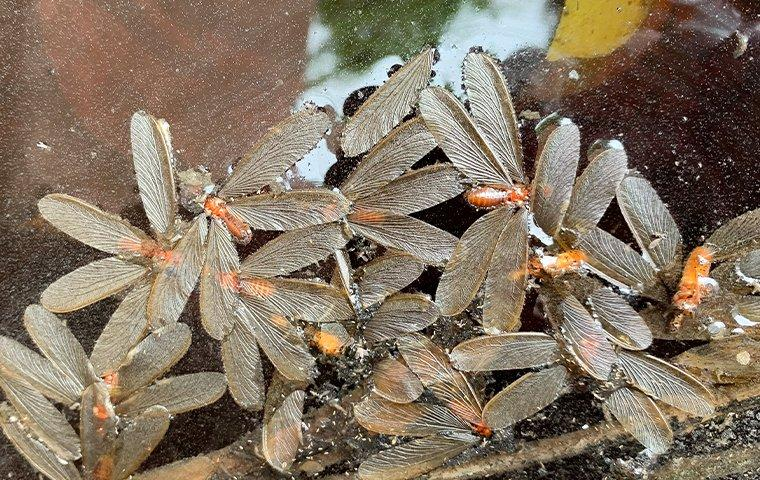 termite alates in water