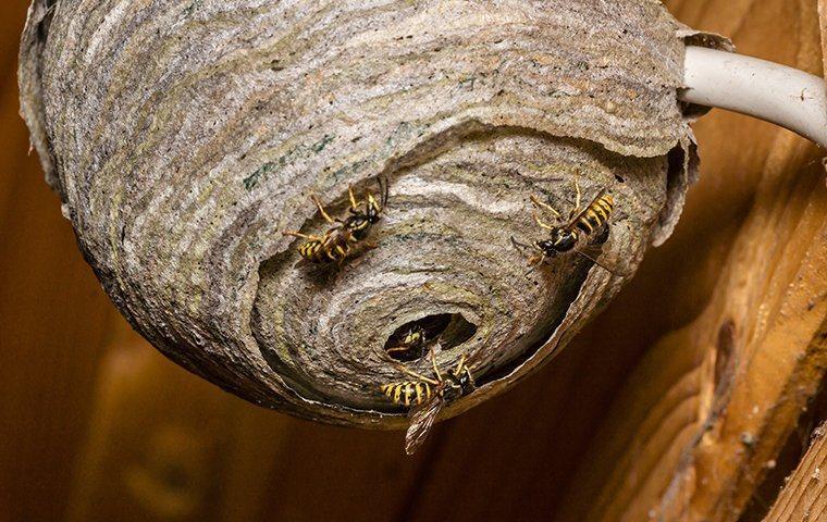 wasps crawling on nest