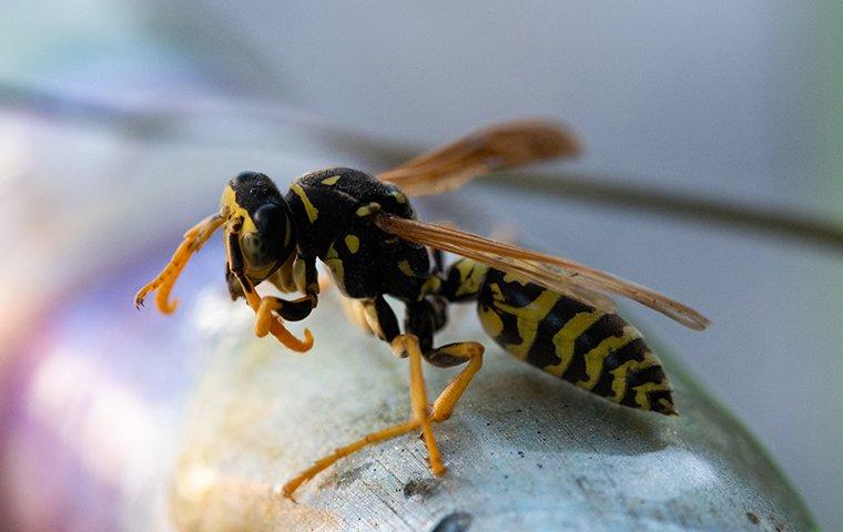 close up view of a yellow jacket wasp in a home