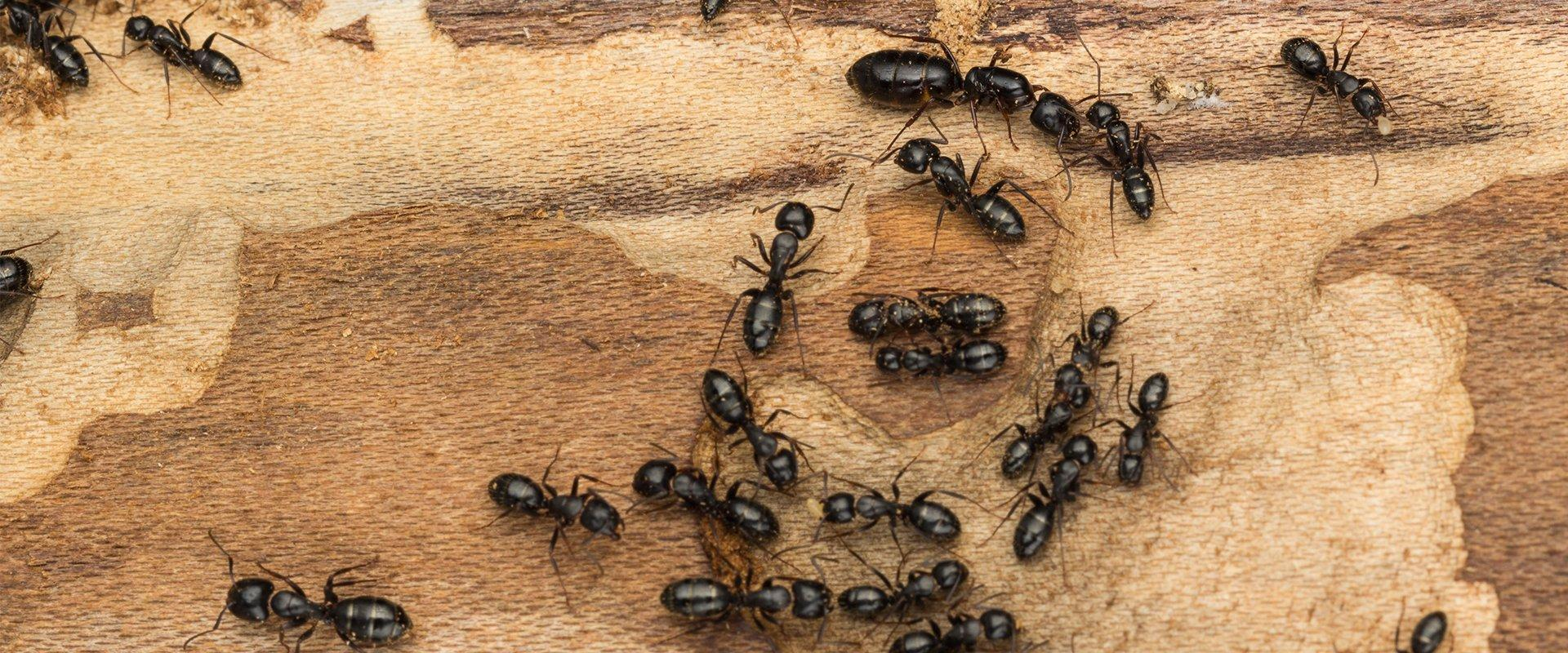 carpenter ants crawling around on wood they have damaged
