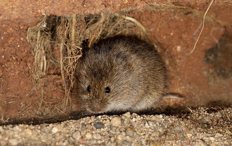 vole near house foundation