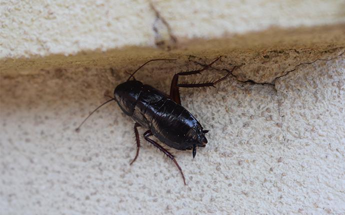 oriental cockroach near house