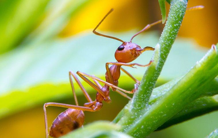 red ant crawling up stem of leaf