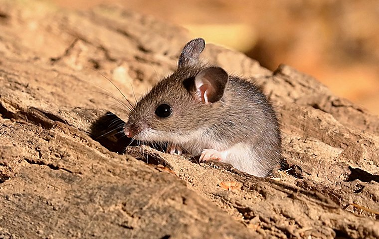 timid house mouse on rock in utah
