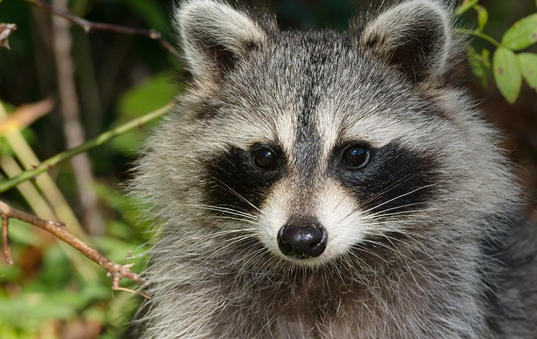 a raccoon being a nuisance around the home