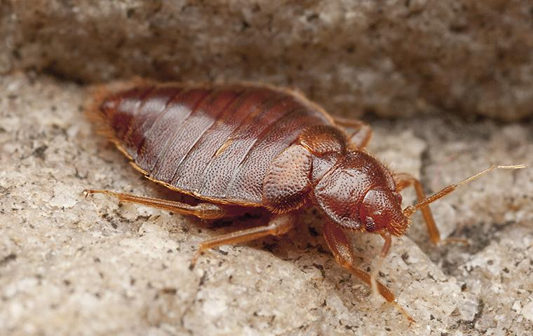 bed bug on floor in home
