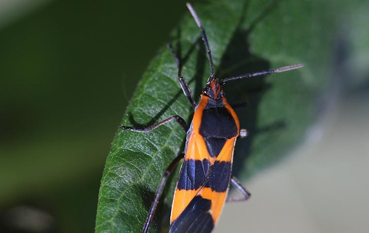 a boxelder bug on a leaf outside of home in utah