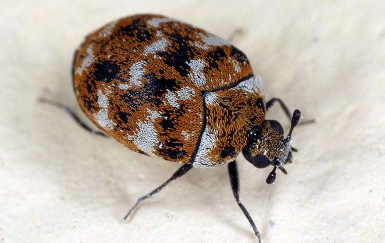 a carpet beetle walking on white carpet