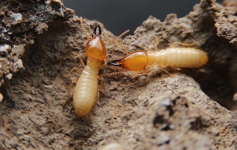 two termites coming out of holes in destroyed wood