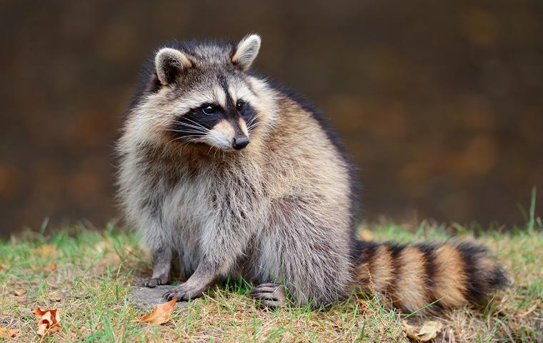 a nuisance raccoon sitting in backyard