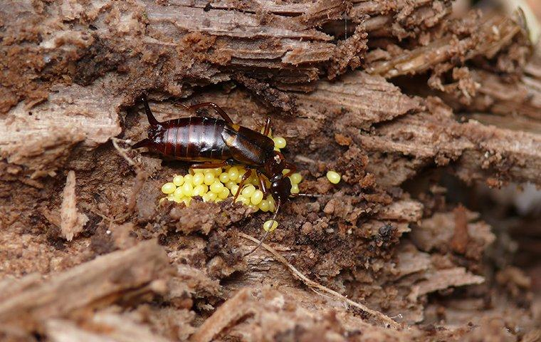 earwig protecting its eggs in a rotten log