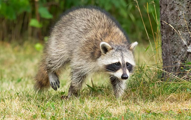 racoon outside a home