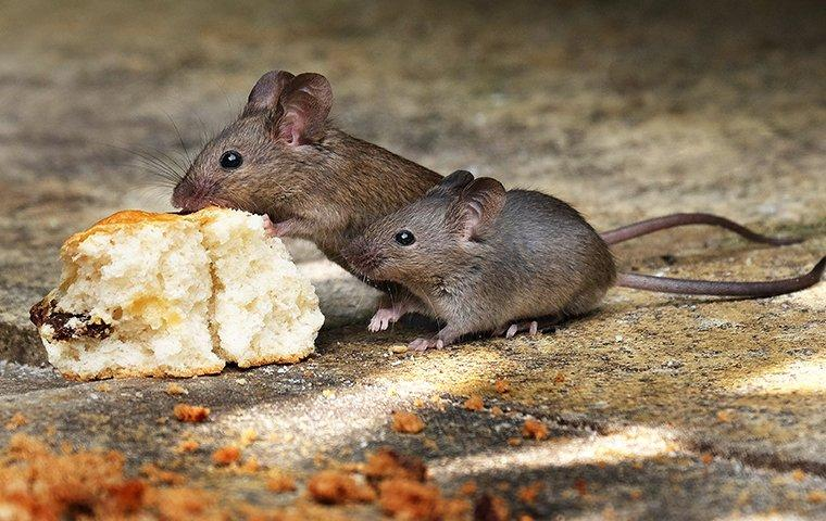 two house mice eating old bread