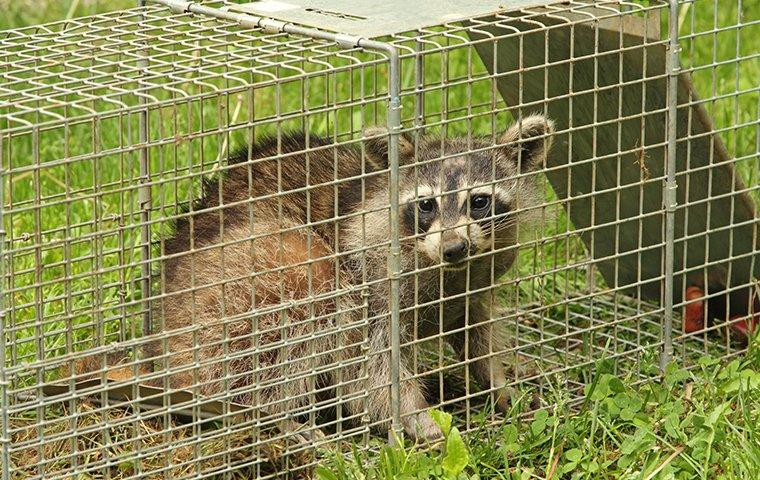 a raccoon caught in live trap outside home in utah