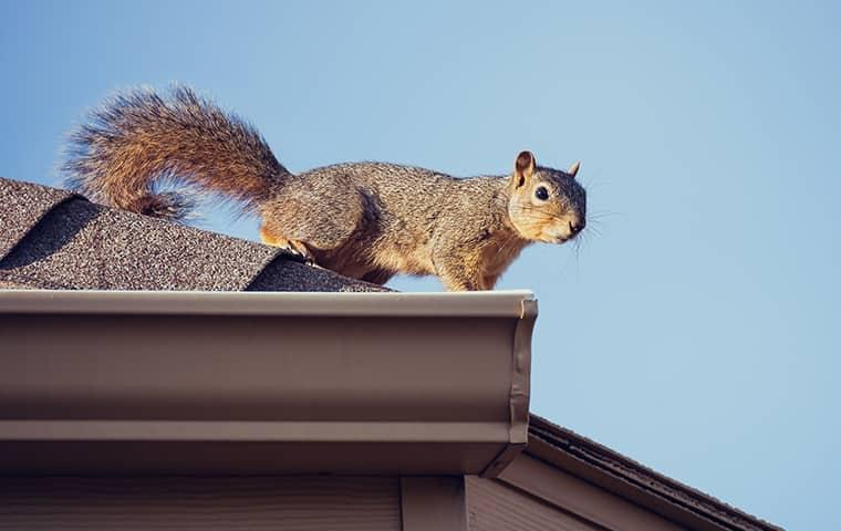 squirrel on rain gutter