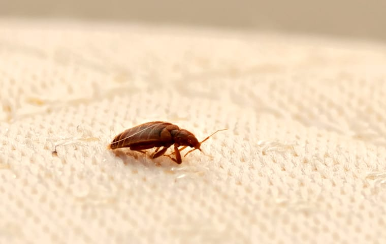 a bed bug crawling across a mattress inside of a home serviced by thermalrid in nashville tennessee