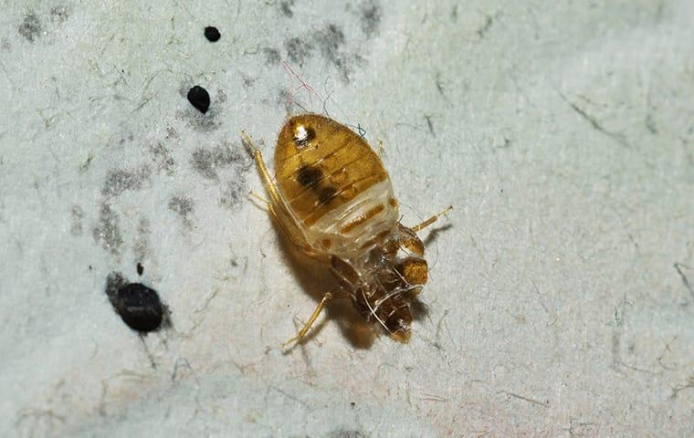 bed bug in tennessee