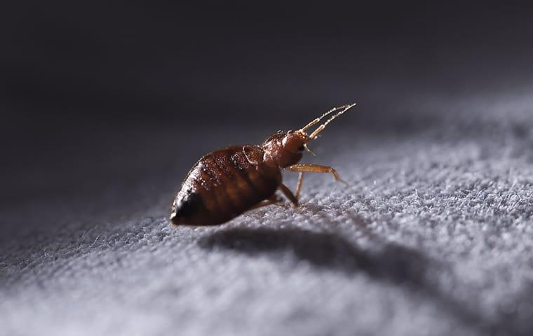 bed bug on sheets in a memphis home