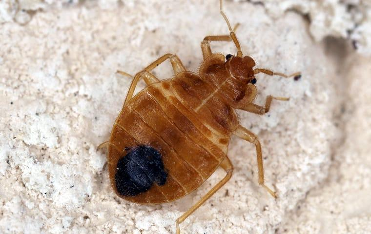 a bed bug infestataion inside of a nashville tennessee home