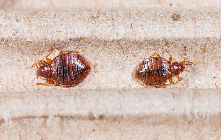 a bed bug infestation with in the seams of a memphis tennessee matress