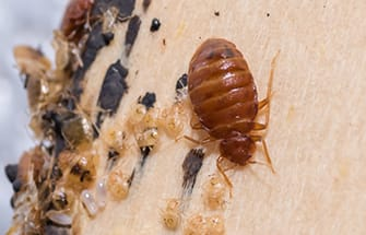a bed bug and nymphs on a baseboard inside of a home in nashville tennessee