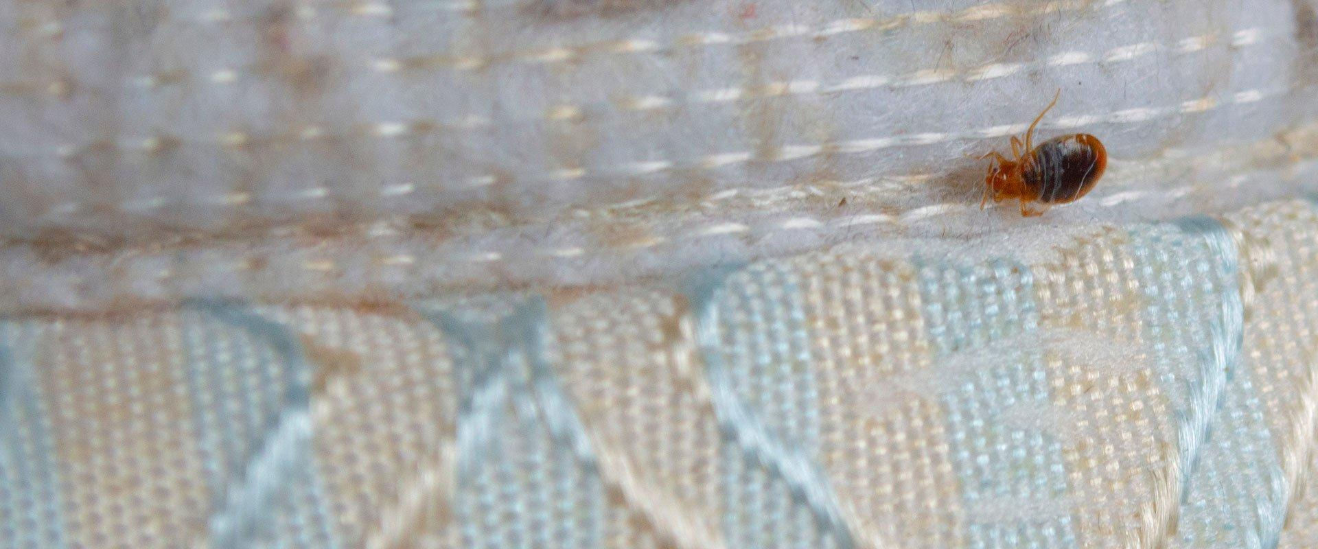 bed bug on a mattress