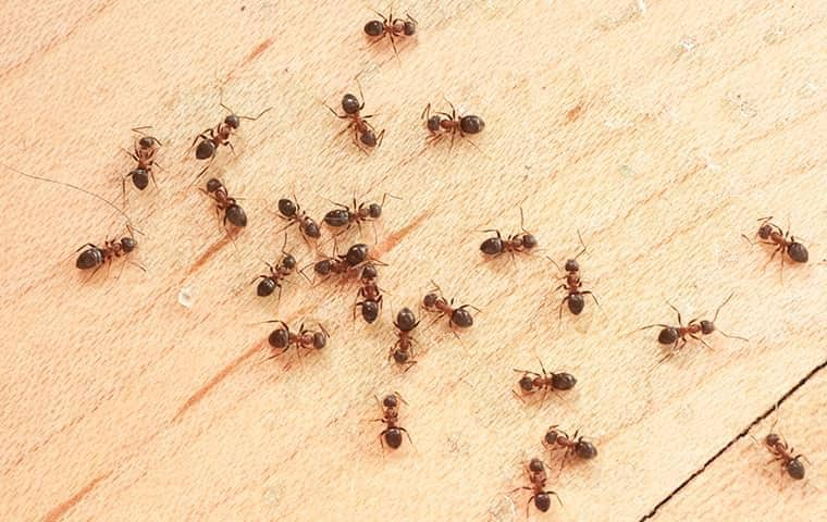 When And Why Ants Start Swarming Around East Nashville
