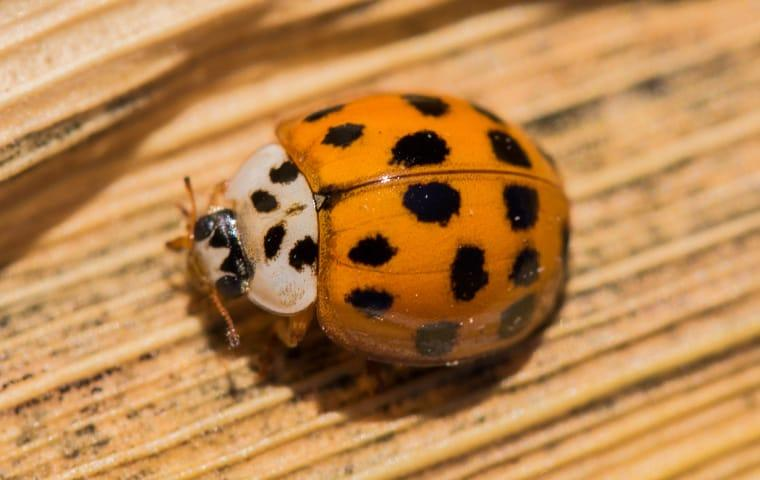 asian lady beetle on wood