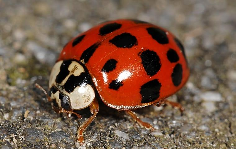 asian lady beetle on the ground