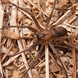 close up picture of a brown recluse spider