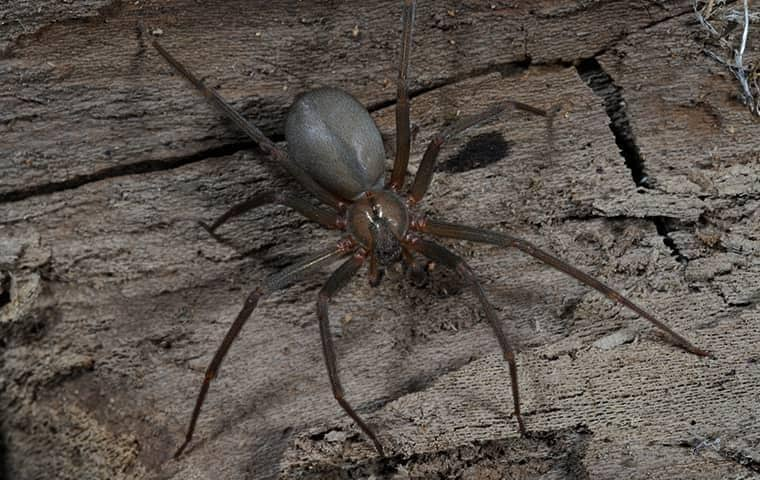 brown recluse on wood
