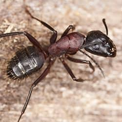 carpenter ant in brentwood tennessee