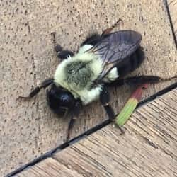 close up picture of a carpenter bee