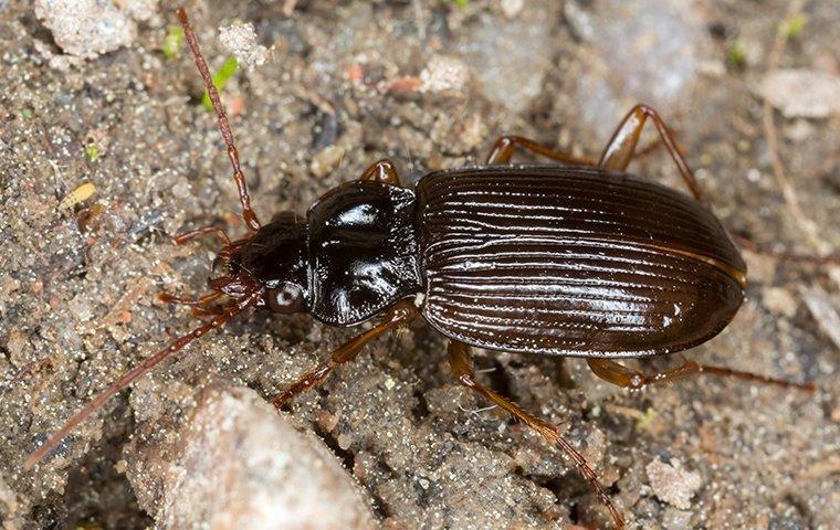 ground beetle on sand