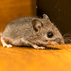 small mouse in a tennessee home