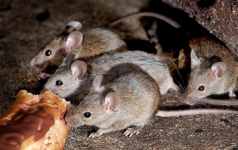 four mice