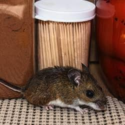 mouse in a middle tennessee home