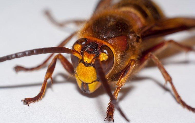 murder hornet on white table