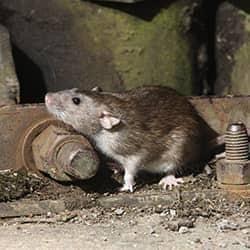 rat in basement